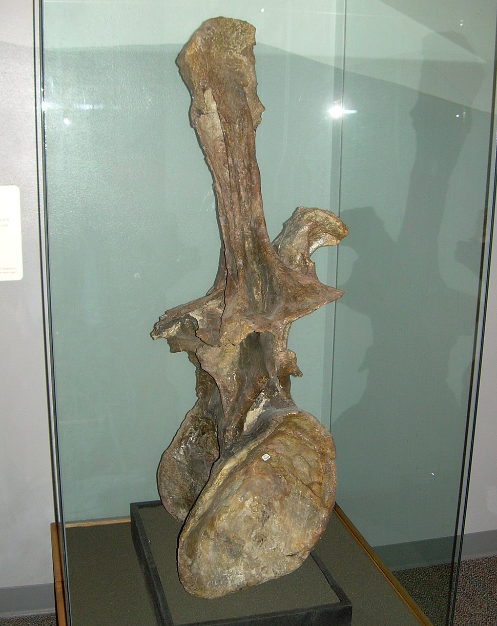 Supersaurus vivianae dorsal vertebra