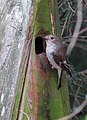 Svartvit Flugsnappare Pied Flycatcher (14519447272).jpg