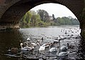 Swans under Bewdley Bridge - geograph.org.uk - 1255808.jpg