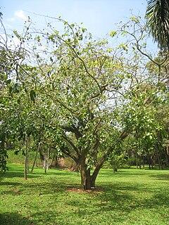 <i>Swartzia</i> genus of plants