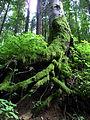 Synevyr Mizhhirskyi Zakarpatska-National park-root of tree near road to the lake.jpg