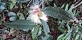 Syzygium Munronii 15.JPG