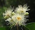 Syzygium hemisphericum 09.jpg