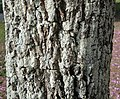 Tabebuia heptaphylla (bark).jpg