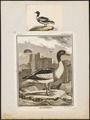 Tadorna cornuta - 1700-1880 - Print - Iconographia Zoologica - Special Collections University of Amsterdam - UBA01 IZ17600277.tif