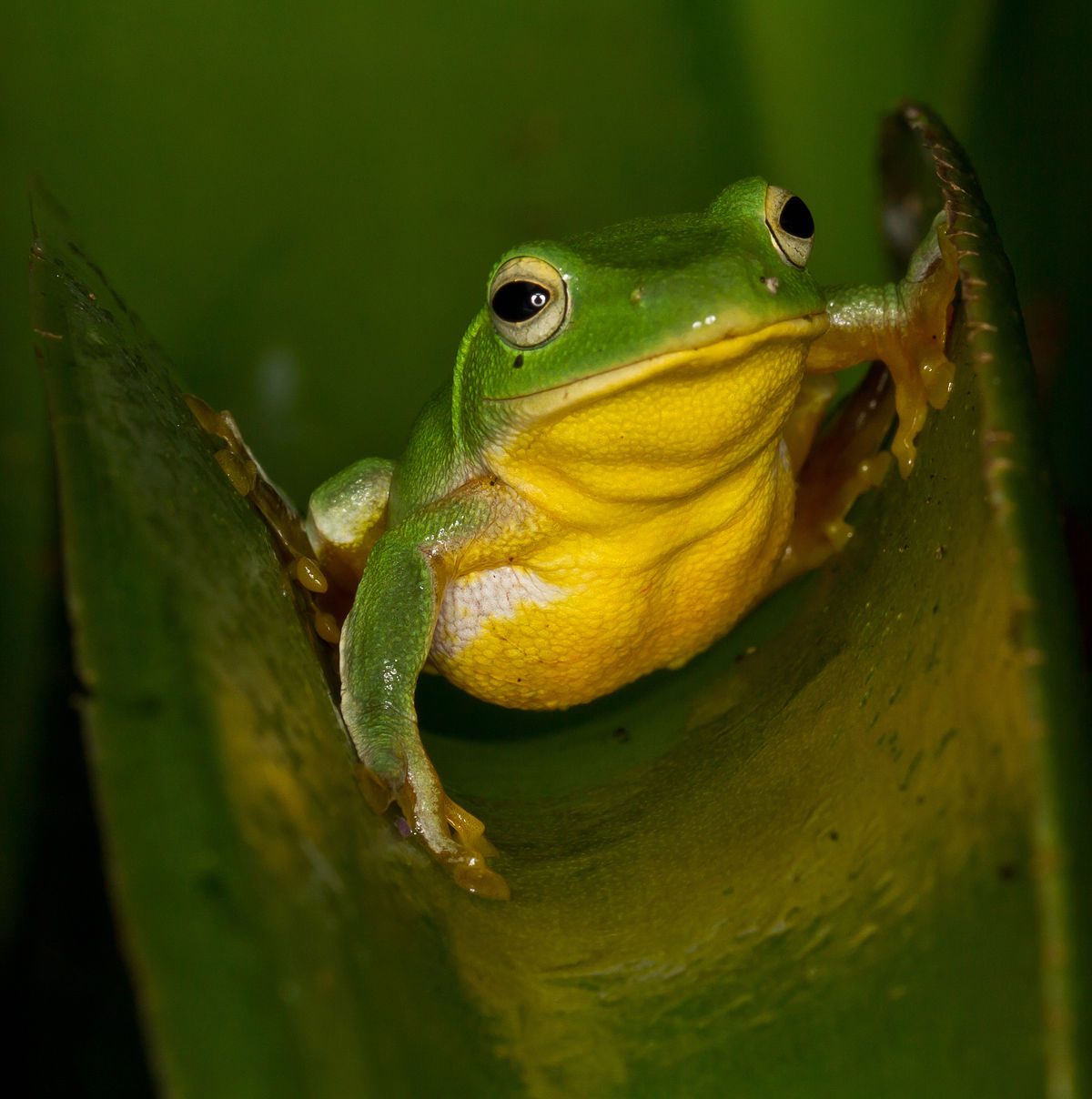 V Frog Kpm Rhacophorus tai...