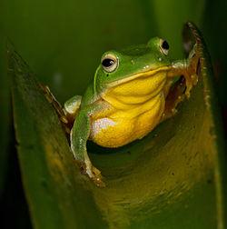 Taipei tree frog - Rhacophorus taipeianus.jpg