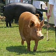Tamworth Sow - Best of Breed.jpg