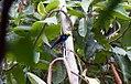 Tangara chilensis 3zz.jpg