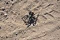 Tarantula (4017822704).jpg