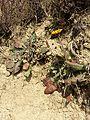 Taraxacum serotinum sl75.jpg