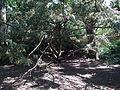 Taxus baccata in Odessa Botanical garden 2.jpg