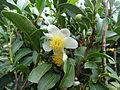 Tea flower10.JPG