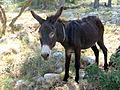 Telascica-Donkey.JPG