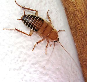 Dictyoptera - Zebra Cockroach, a Temnopteryx species, family Ectobiidae