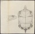 Testudo sulcata - 1700-1880 - Print - Iconographia Zoologica - Special Collections University of Amsterdam - UBA01 IZ11600059.tif