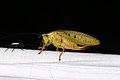 Tettigoniidae sp. (25156164097).jpg