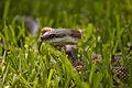 Texas Rat Snake (7284906714).jpg