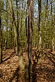 Texel - De Dennen - Budding Beeches - View NE II.jpg