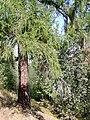 Tharandt - Forstbotanischer Garten, Europäische Lärche.jpg