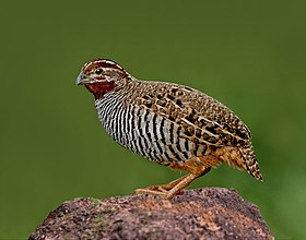 The Jungle Bush Quail.jpg
