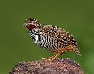 Jungle bush quail - Image: The Jungle Bush Quail