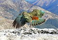 The Kea. Alpine parrot. (8100862619).jpg