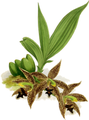 The Orchid Album-01-0104-0034-Paphinia cristata-crop.png
