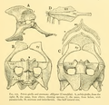 The Osteology of the Reptiles-165 fghjk iuh.png