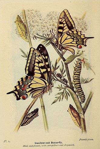 Papilio machaon - Illustration from The butterflies of the British Isles