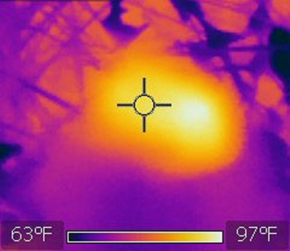 Thermal Image of a Honey Bee and a fly on a Dandelion