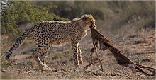 This is mine - Cheetah.jpg