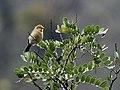Thlypopsis inornata - Buff-bellied Tanager.jpg