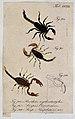 Three scorpions; Brotheas erythrodactylus, Scorpius oravitze Wellcome V0022427ER.jpg