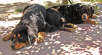 Tibetan Mastiff - Tibetan Mastiff is a livestock guardian dog
