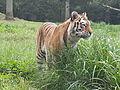 Tiger Longleat1.jpg