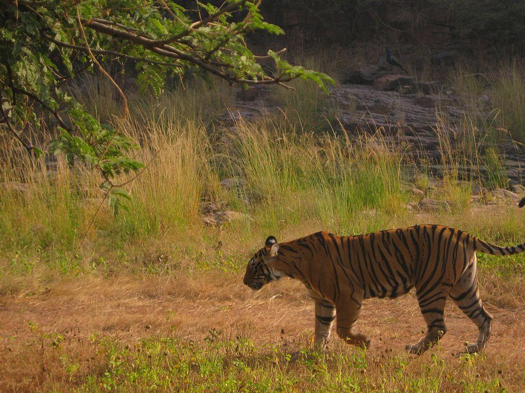 Tiger at Ranthambore Tiger Reserve