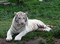 Tigre blanc Zoo d'Amnéville 27082010 4.jpg