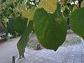 Tilia platiphylos.jpg