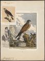 Tinnunculus alaudarius - 1700-1880 - Print - Iconographia Zoologica - Special Collections University of Amsterdam - UBA01 IZ18200227.tif