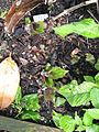 Titanotrichum oldhamii (14180067155).jpg