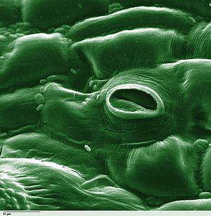 Transpiration - Stoma in a tomato leaf shown via colorized scanning electron microscope