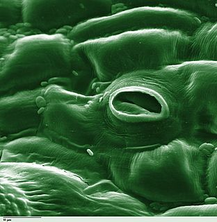 Stoma in plants, a variable pore between paired guard cells