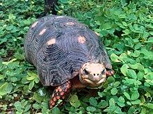 tortuga de patas rojas nombre científico