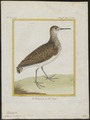 Totanus ocrophus - 1700-1880 - Print - Iconographia Zoologica - Special Collections University of Amsterdam - UBA01 IZ17400095.tif