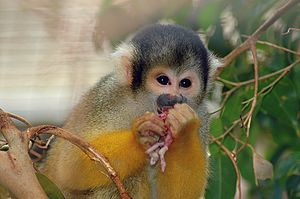 Haplorhini - Common squirrel monkey (Saimiri sciureus)