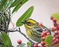Townsend's Warbler (24573647458).jpg