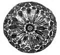Trans. Linn. Soc. London - Volume 20 - Plate 23 - Figure B.png
