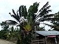 Traveller's Tree Manambaro Madagascar - panoramio.jpg