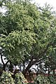 Tree I IMG 2896.jpg